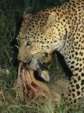 Leopard Kills an Impala Photographic Print