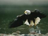 American Bald Eagle in Flight over Water Hunting for Fish Fotografisk tryk af Klaus Nigge