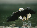American Bald Eagle in Flight over Water Hunting for Fish Fotodruck von Klaus Nigge