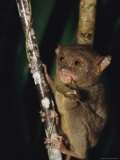 Tarsier Eats an Insect While Clinging to a Branch at Night Photographic Print