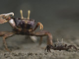 Pincer Claw of a Full-Size Ghost Crab Moves toward a Juvenile Crab Photographic Print by Michael Nichols