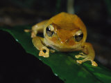 Golden Colored Frog Sitting on a Leaf Photographic Print by Tim Laman