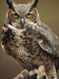Captive Great Horned Owl Reproduction photographique par Raymond Gehman