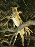 Leopard Climbs a Tree with an Impala It Has Killed Photographic Print