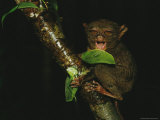 Sleepy Looking Tarsier Clinging to a Branch at Night Photographic Print by Tim Laman