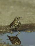 Song Thrush Drinking from a Puddle Photographie par Klaus Nigge