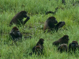 Gorilla Family in the Mbeli Bai Clearing of Nouabale-Ndoki Photographic Print by Michael Nichols