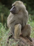 Close View of a Baboon in Profile Photographic Print by Richard Nowitz