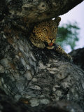Close View of a Leopard Peeking from Behind a Tree Photographic Print