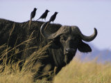 Portrait of a Cape Buffalo, Serengeti National Park, Tanzania Photographic Print by George F. Mobley