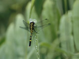 Dragonfly Sitting on a Blade of Grass with Dew Droplets Photographic Print