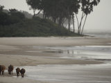 Small Herd of Forest Buffalo Roam the Beach Photographic Print by Michael Nichols