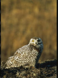 Portrait of a Female Snowy Owl, Nyctea Scandiaca Photographic Print by Norbert Rosing