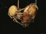 Spider Wrapping a Beetle in Strands of Silk Photographic Print by Tim Laman