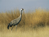 Portrait of a Common Crane in Tall Grass Photographic Print by Klaus Nigge