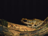 Frog Sitting on a Piece of Dead Wood Photographic Print by Tim Laman