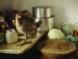A Wild Chicken on a Kitchen Table Next to the Chopping Block Lmina fotogrfica por Justin Guariglia