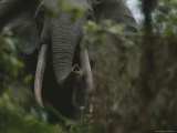 Forest Elephant in Gabons Loango National Park Photographic Print by Michael Nichols