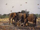 Doves, Lions and Elephants Compete for a Water Hole in the Dry Season Photographic Print by Beverly Joubert