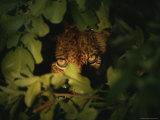 Six-Month Old Lion Cub Peers Through Foliage Fotodruck von Kim Wolhuter