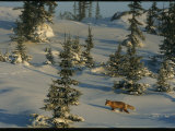 A Red Fox Walking Among Evergreen Trees in a Snowy Landscape Photographic Print by Norbert Rosing
