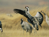 Common Cranes on a Grassland Photographic Print by Klaus Nigge