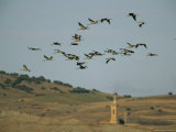 Flock of Common Cranes in Flight Photographic Print by Klaus Nigge
