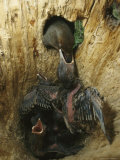 Adult Northern Flicker Regurgitates Food for its Hungry Chicks Photographic Print by Michael S. Quinton