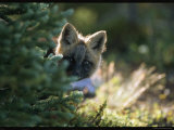 A Red Fox Pup Peering from Behind an Evergreen Photographic Print by Norbert Rosing