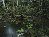 Mangrove Swamp in Gabons Loango National Park Photographic Print by Michael Nichols