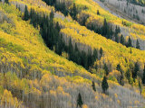 Autumn Colored Aspen Trees Intermingled with Evergreens Photographic Print by Charles Kogod