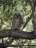 Juvenile Great Horned Owl on a Branch, des Lacs National Wildlife Refuge, North Dakota Fotografie-Druck von Bates Littlehales