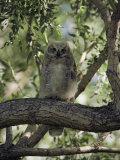 Juvenile Great Horned Owl on a Branch, des Lacs National Wildlife Refuge, North Dakota Photographic Print by Bates Littlehales