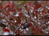 Droplets of Water on the Red Leaves of an Arctic Plant Photographic Print by Norbert Rosing