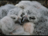 Fluffy Baby Owls Nestled Together in Their Nest Photographic Print by Norbert Rosing