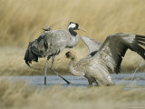 Pair of Common Cranes in Water Photographic Print by Klaus Nigge