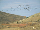 Flock of Common Cranes in Flight over Hills and Valley Photographic Print by Klaus Nigge