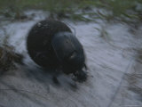 Dung Beetle in the Sand of Loango National Park Photographic Print by Michael Nichols