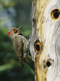 Yellowhammer - Yellow Shafted Northern Flicker on an Old Snag with Nesting Holes, Photographic Print