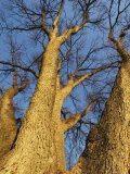 Towering Leafless Oak Trees Against a Blue Sky Photographic Print by Klaus Nigge
