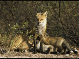 A Red Fox Mother Nurses Her Litter of Pups Photographic Print by Norbert Rosing