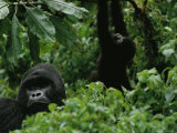Silverback Gorilla and a Playful Youngster in the Dense Jungle, Virunga Mountains, Rwanda Photographic Print by Michael Nichols
