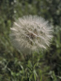 The Flower Head of a Goat's Beard Plant, Lostwood National Wildlife Refuge, North Dakota Photographic Print by Bates Littlehales