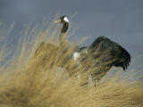 Common Crane Stretching its Wings Photographic Print by Klaus Nigge