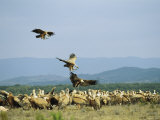 Griffon Vultures Congregated on the Ground Photographic Print by Klaus Nigge
