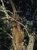 Young Leopard Descends a Tree Photographic Print by Kim Wolhuter