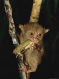 Tarsier Eats an Insect While Clinging to a Branch at Night Photographic Print by Tim Laman