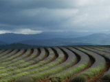 Rows of Lavender Under a Storm Cloud, Tasmania, Australia Photographic Print by Sam Abell