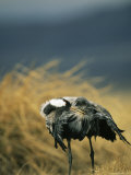Common Crane Preening its Feathers Photographic Print by Klaus Nigge