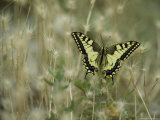 Swallowtail Butterfly Perched on Delicate Grass Seedheads Photographic Print by Klaus Nigge